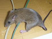 ネズミの被害