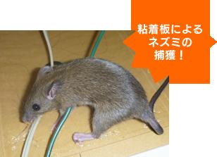 ネズミの行動を特定しネズミの通り道に粘着板・毒エサを仕掛ける。